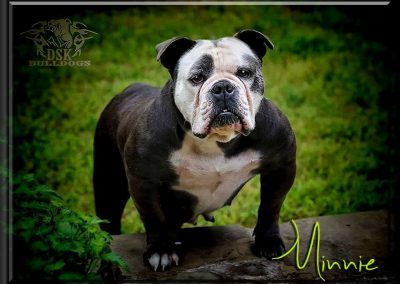 """Minnie"" Blue Female For Sale, Pet Home Only  DOB 5/18/14"
