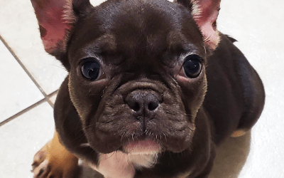 Segue The Frenchie